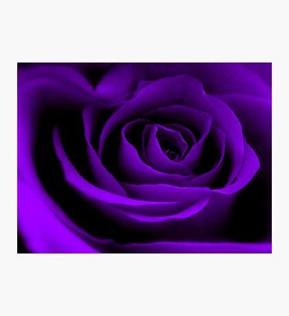 A Purple Rose. Photographic Print