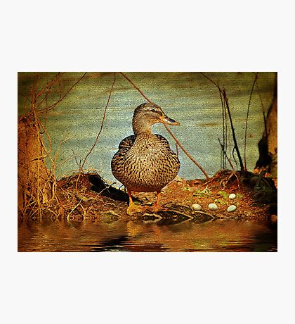 Mother Mallard With Eggs In The Cypress Swamp Photographic Print