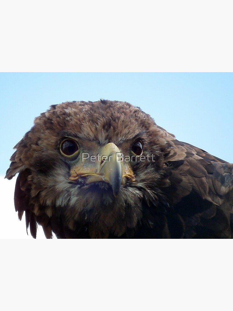 Eagle Stare by hartrockets