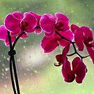 Orchid by Marija