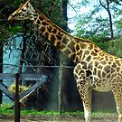 The Thrill of Being This Close To A Giraffe by Jane Neill-Hancock