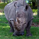 Beautiful Rhino by Jane Neill-Hancock