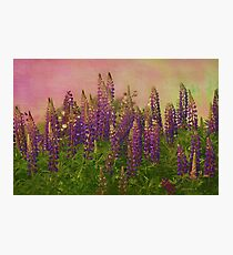 Dreamy Lupin Photographic Print