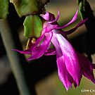 Christmas Cactus Bloom by glennc70000