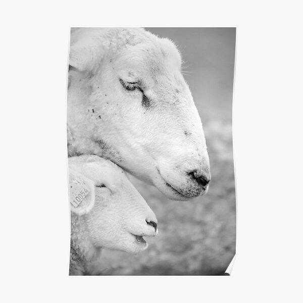 Mother sheep and lamb Poster