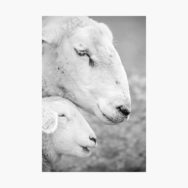 Mother sheep and lamb Photographic Print