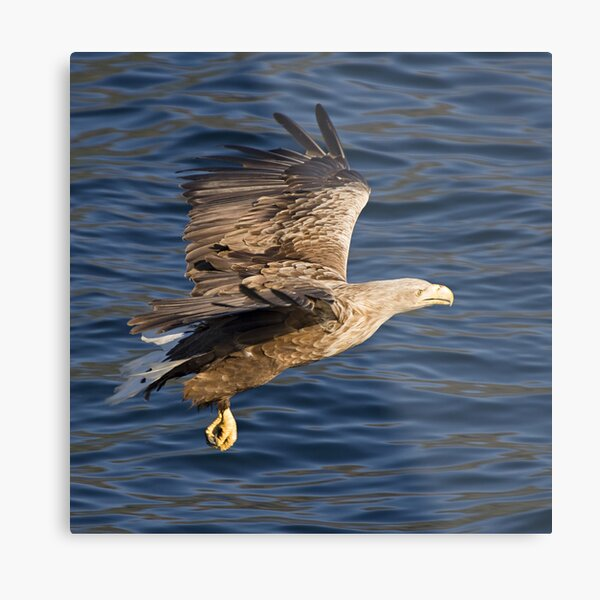 Sea eagle in action Metal Print