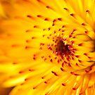 Dahlia Sun.  by Sherstin Schwartz