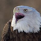 Bald eagle for Viv by cherylc1