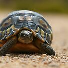 Slow Traffic Keep Right / Angulate Tortoise by naturalnomad