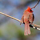 Cardinal by vasu