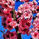 Pink Peach Blossom by Geoffrey Higges