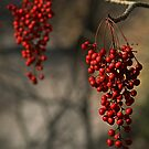 Red Berries by Geoffrey Higges