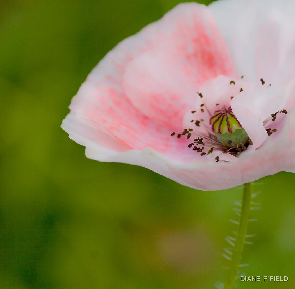 Delicate Poppy in Pink  by DIANE  FIFIELD