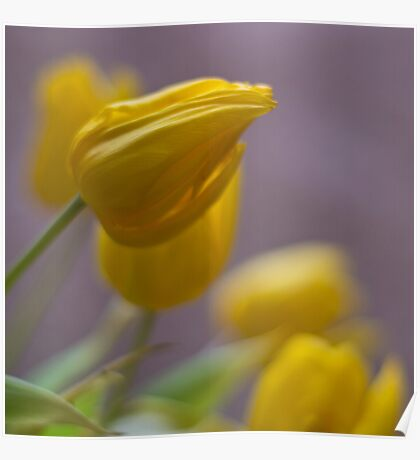 Soft Tulips Poster