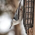 Nuthatch - Ottawa, Ontario by Josef Pittner