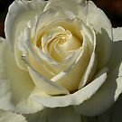 White Rose by Geoffrey Higges