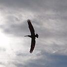 Flying Pelican - Pelícano Volando by Bernhard Matejka