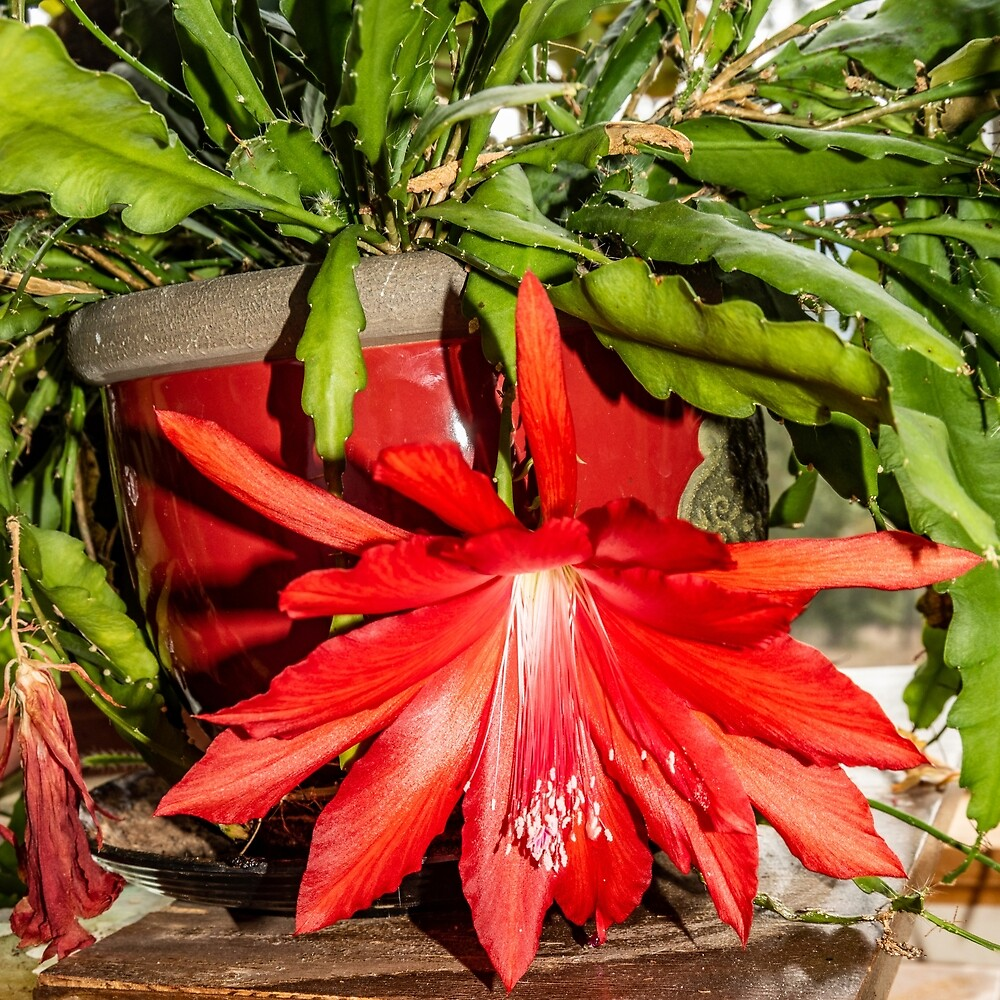 Orchid Cactus in Red by Bryan Spellman
