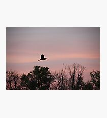 Great Blue Heron on Pink Sky Photographic Print