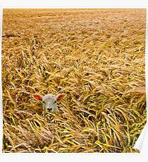 lost lamb with barley Poster