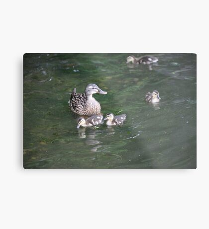 Duck with Ducklings Metal Print