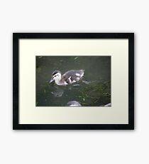 Ducklings on Lake Monona Framed Print