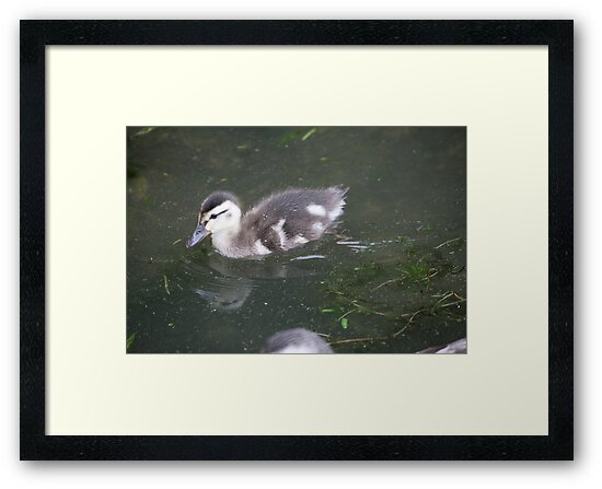 Ducklings on Lake Monona by Thomas Murphy