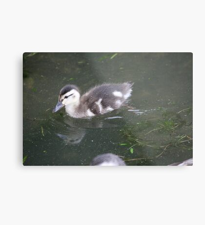 Ducklings on Lake Monona Metal Print