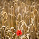 poppy in cornfield by Dave Milnes
