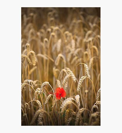 poppy in cornfield Photographic Print