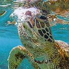 Turtle gaze by Kara Murphy