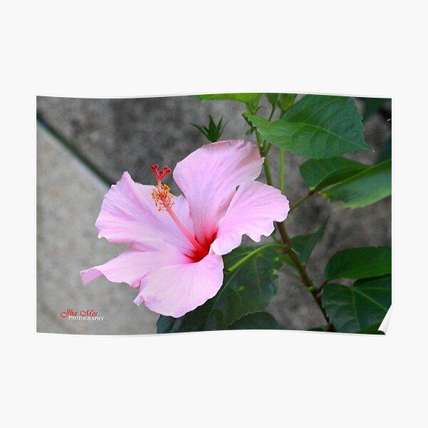 A specie of Hibiscus Rosa-senensis Linn. Poster