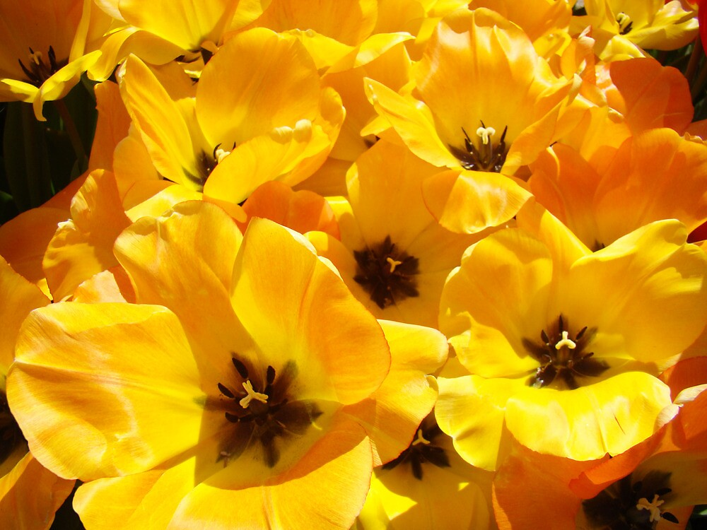 Tulips Flowers art prints Yellow Tulip Floral by BasleeArtPrints