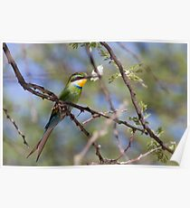 Swallow-tailed Bee-eater Poster