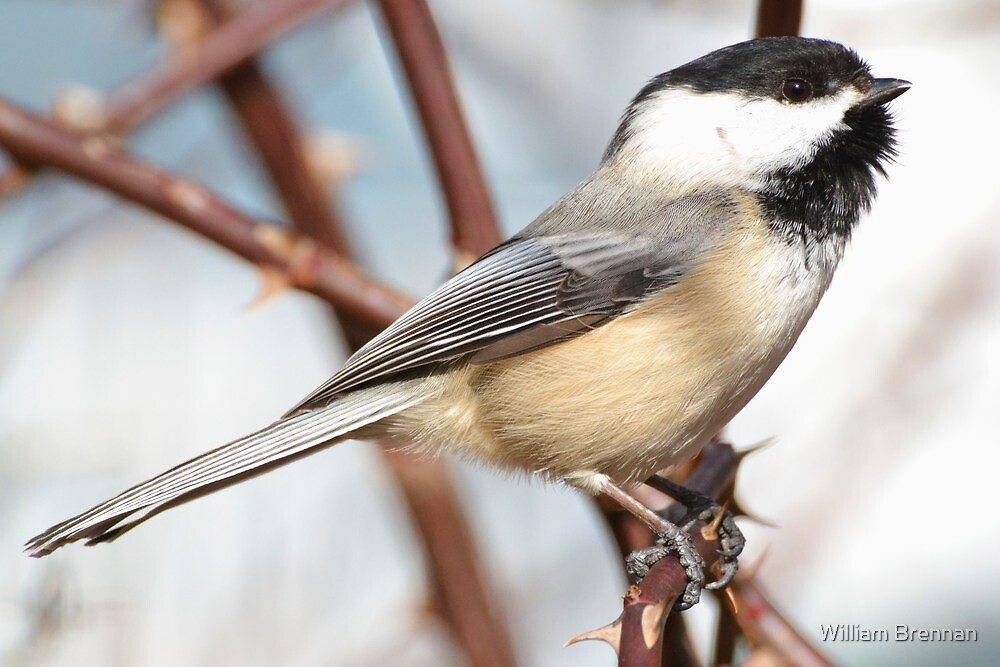 Chickadee4 by William Brennan