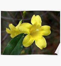 Carolina Jasmine-Single Bloom Wild Poster