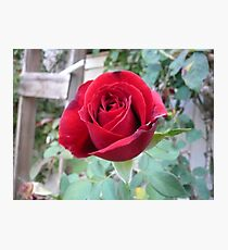 Lone Rose Photographic Print