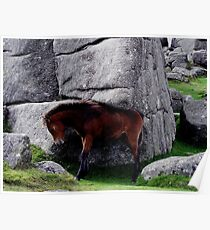 Dartmoor Pony Foal Scratching Its Back On Rock  Poster
