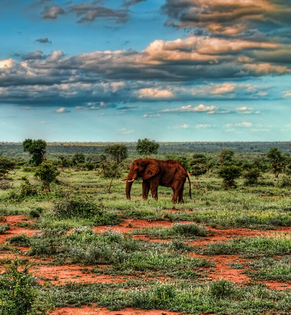 Elephant at kruger park by pescas