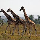 Giraffee Trifecta by tracyleephoto