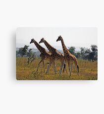 Giraffee Trifecta Canvas Print