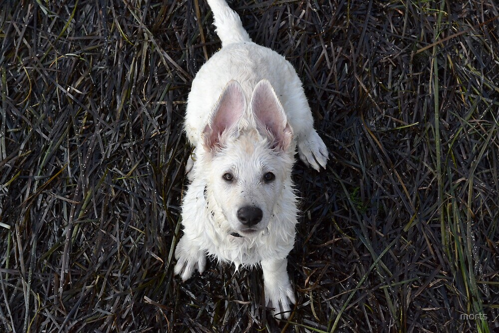 White german shepherd puppy sitting by morts
