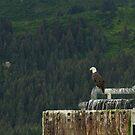 American Bald Eagle, Seward, Alaska by SusanAdey