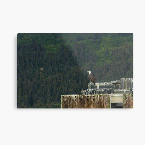 American Bald Eagle, Seward, Alaska Metal Print
