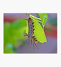 Hungry little Caterpillar Photographic Print