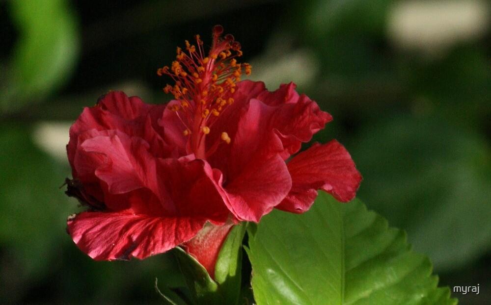 A Red Hibicus by myraj