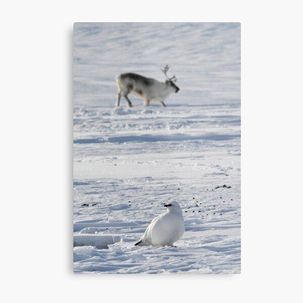 Svalbard ptarmigan and reindeer in Adventdalen Metal Print