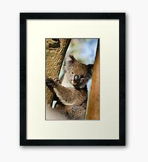"Koala ""Phascolarctos Cinereus"" Framed Print"
