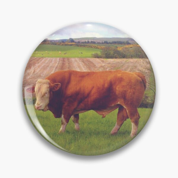 Hereford Bull standing proud in Scotland Pin
